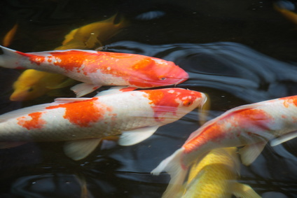 Blanket Weed Controller Protecting Your Koi From Predators